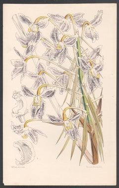 Schomburgkia Lyonsi, antique Jamaica orchid botanical lithograph print