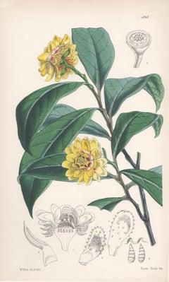 Eupomatia Laurina, antique botanical Australian flower lithograph print