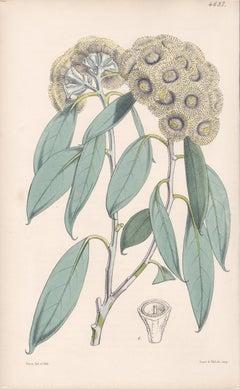 Eucalyptus Coccifera, antique botanical Australian flower lithograph print