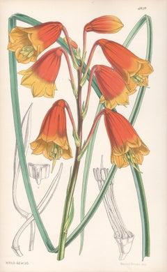 Blandfordia Flammea, antique botanical Australian flower lithograph print