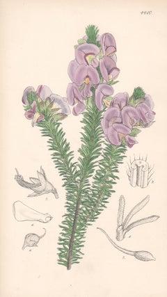 Burtonia Villosa, antique botanical Australian flower lithograph print