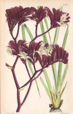 Anigozanthus tyrianthina, antique botanical Australian flower lithograph print