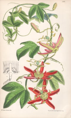 Passiflora Cinnabarina, antique botanical Australian flower lithograph print