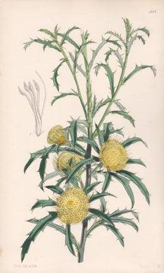 Dryandra Carduacea, antique botanical Australian flower lithograph print