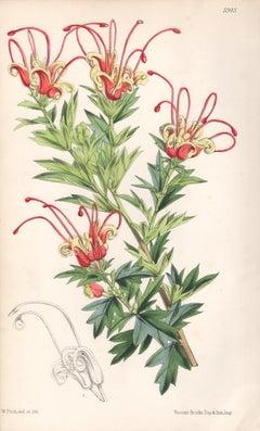 Grevillea Macrostylis, antique botanical Australian flower lithograph print