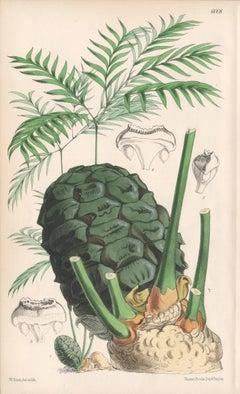 Bowenia Spectabilis, antique botanical Australian flower lithograph print