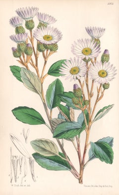 Olearia Dentata, antique botanical Australian flower lithograph print