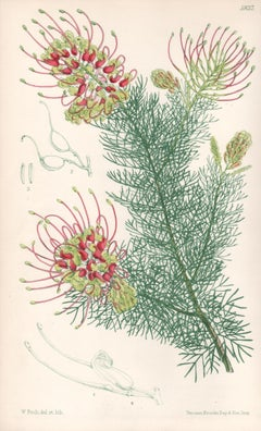 Grevillea Preissii, antique botanical Australian flower lithograph print