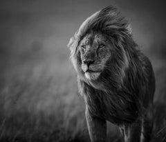 Male Lion Blowing In Wind - Artist Proof 1