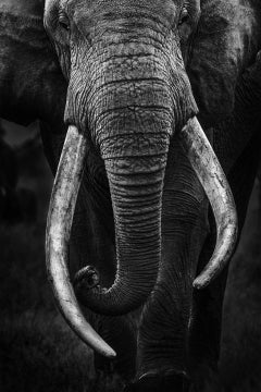 Portrait of Craig - Big Tusker African Elephant - Limited Edition of 10