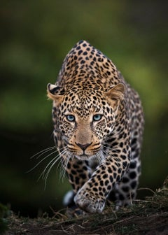 Blue Eyes - Rare Blue Eyed Leopard - Artist Proof 1 of 1 - Large Size