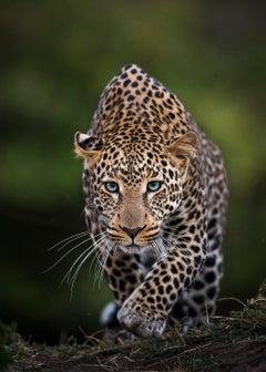 Blue Eyes - Rare Blue Eyed Leopard - Artist Proof 2/2- Large Size