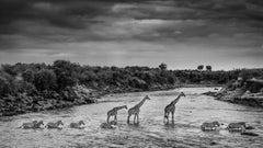 Giraffe's and Zebra's In The River - Edition of 8 - Large Size
