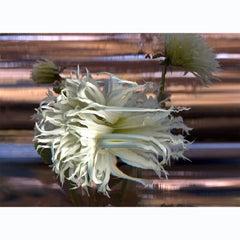Tsuki-Yori-No-Shisha Dahlia, Flower in Time Lapse Contemporary  Photography