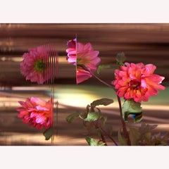 """""""Golden Scepter Pompon Dahlia""""  Pink Flower in Time Lapse Photography"""