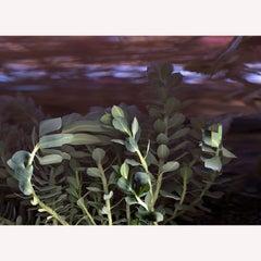 """Succulent""  Time Lapse Contemporary  Color Photography"