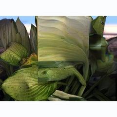 """Cultivar Hostas"" Time Lapse Contemporary  Color Photography"