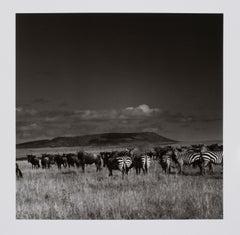 """Hideoki, Black & White, Photography, Gnus & Zebras, Tanzania, 1994, 16"""" x 20"""""""