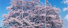 SAKURA 19,4-357, 358, 359, 2019 – Risaku Suzuki, Cherry blossom, Spring, Japan