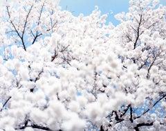 SAKURA 10,4-72 – Risaku Suzuki, Nature, Tree, Sky, Spring, Cherry Blossom, Art