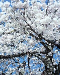 SAKURA 15,4-66 – Risaku Suzuki, Nature, Tree, Cherry Blossom, Japanese, Sakura