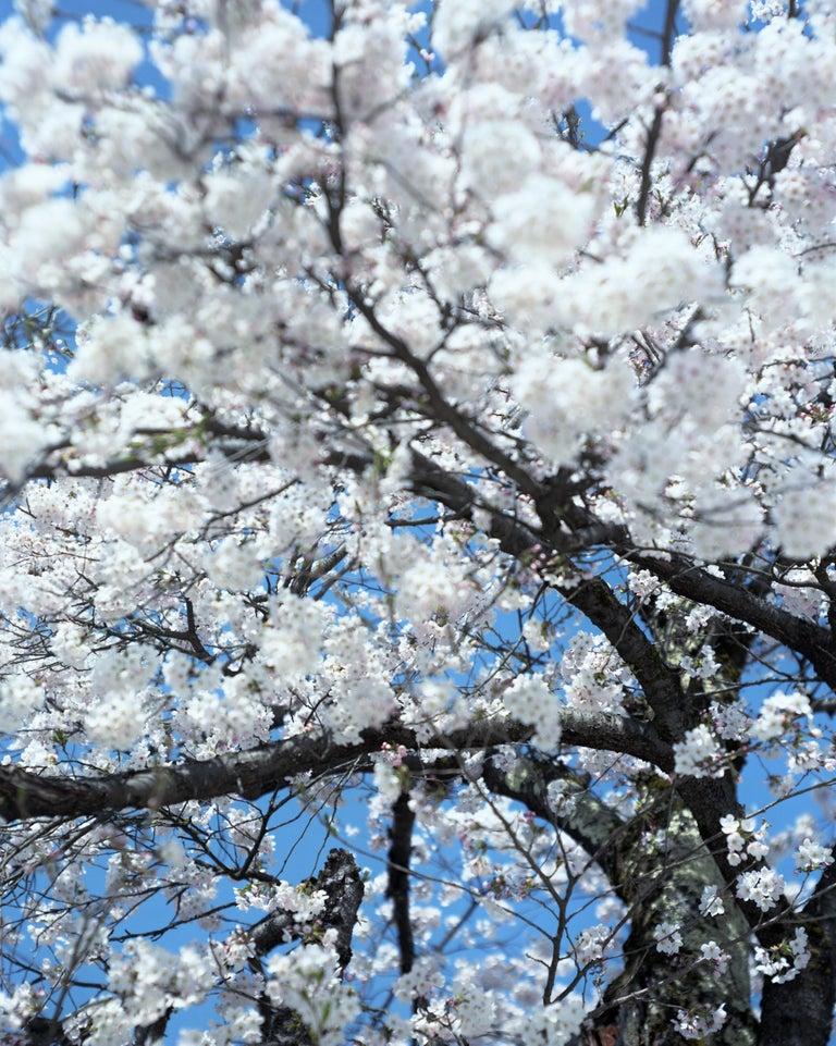 SAKURA 15,4-66 – Risaku Suzuki, Nature, Tree, Cherry Blossom, Japanese, Sakura - Photograph by Risaku Suzuki