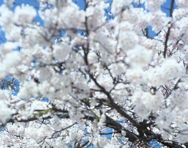 SAKURA 15,4-66 – Risaku Suzuki, Nature, Tree, Cherry Blossom, Japanese, Sakura - Gray Color Photograph by Risaku Suzuki