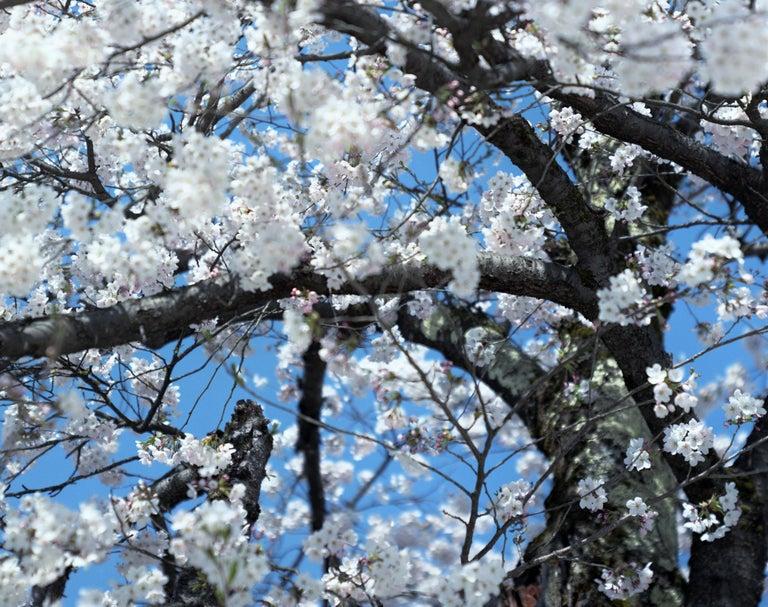 SAKURA 15,4-66 – Risaku Suzuki, Nature, Tree, Cherry Blossom, Japanese, Sakura - Contemporary Photograph by Risaku Suzuki
