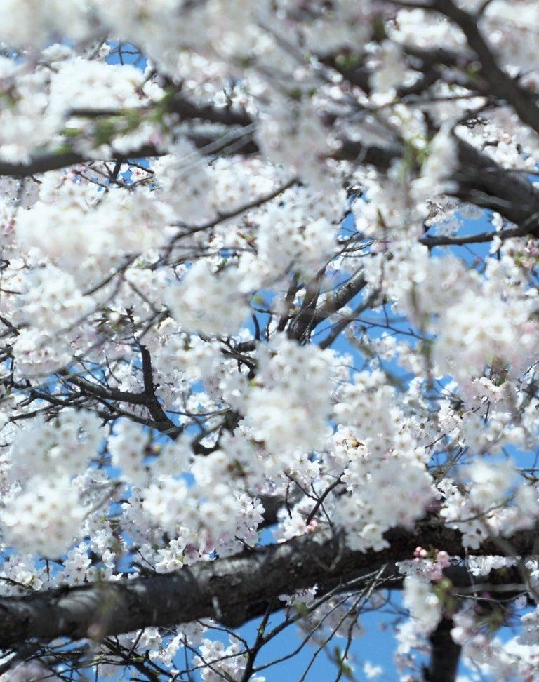 SAKURA 15,4-66 – Risaku Suzuki, Nature, Tree, Cherry Blossom, Japanese, Sakura For Sale 1
