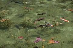Koi 17, K-5 – Risaku Suzuki, Nature, Koi, Fish, Water, Animals, Japanese Art