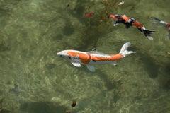 Koi 17, K-2 – Risaku Suzuki, Nature, Koi, Fish, Water, Animals, Japanese Art
