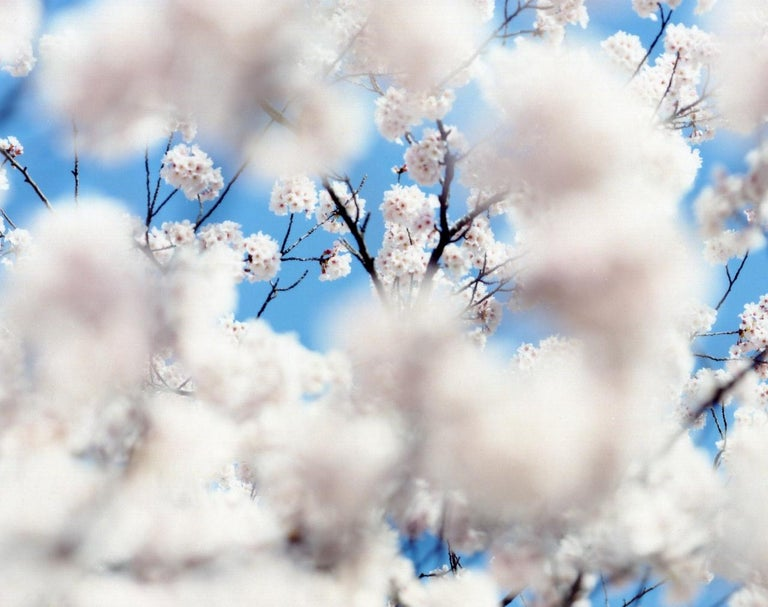 SAKURA 07,S-49 – Risaku Suzuki, Nature, Spring, Cherry Blossom, Japan, Sakura For Sale 1