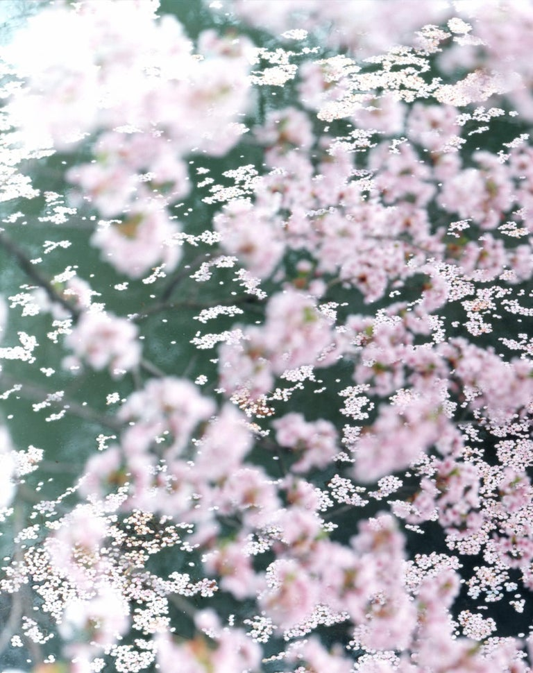 RISAKU SUZUKI (*1963, Japan) SAKURA 10,4-72 2010 Chromogenic print Sheet 120 x 155 cm (47 1/4 x 61 in.) Edition of 5; Ed. no. 1/5 Print only  The Sakura (Japanese term for 'cherry blossoms') Celebration commences in early spring and has inspired