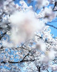 SAKURA 15,4-82 – Risaku Suzuki, Nature, Tree, Cherry Blossom, Japanese, Sakura