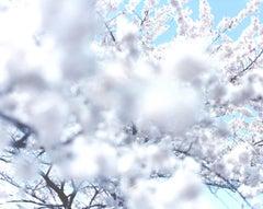 SAKURA 10,4-66 – Risaku Suzuki, Nature, Tree, Sky, Spring, Cherry Blossom, Art