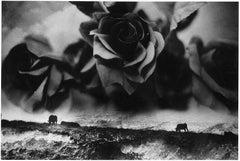 WARNING #31 – Kosuke, Photography, Art, Abstract, Black and White, Black Roses