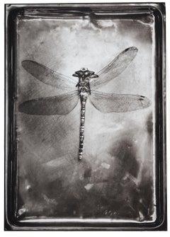 Dragonfly-Platinum Palladium print on vellum over silver, limited edition of 5