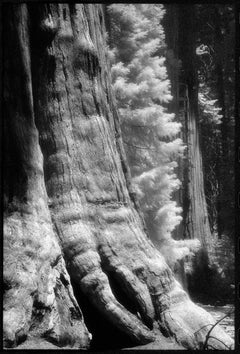 Sequoia National Forest - Majestic Black + White Photograph of Redwood Trees