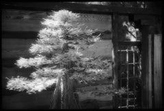 Bald Cypress, Huntington Gardens - Black and White Photograph (4/25)
