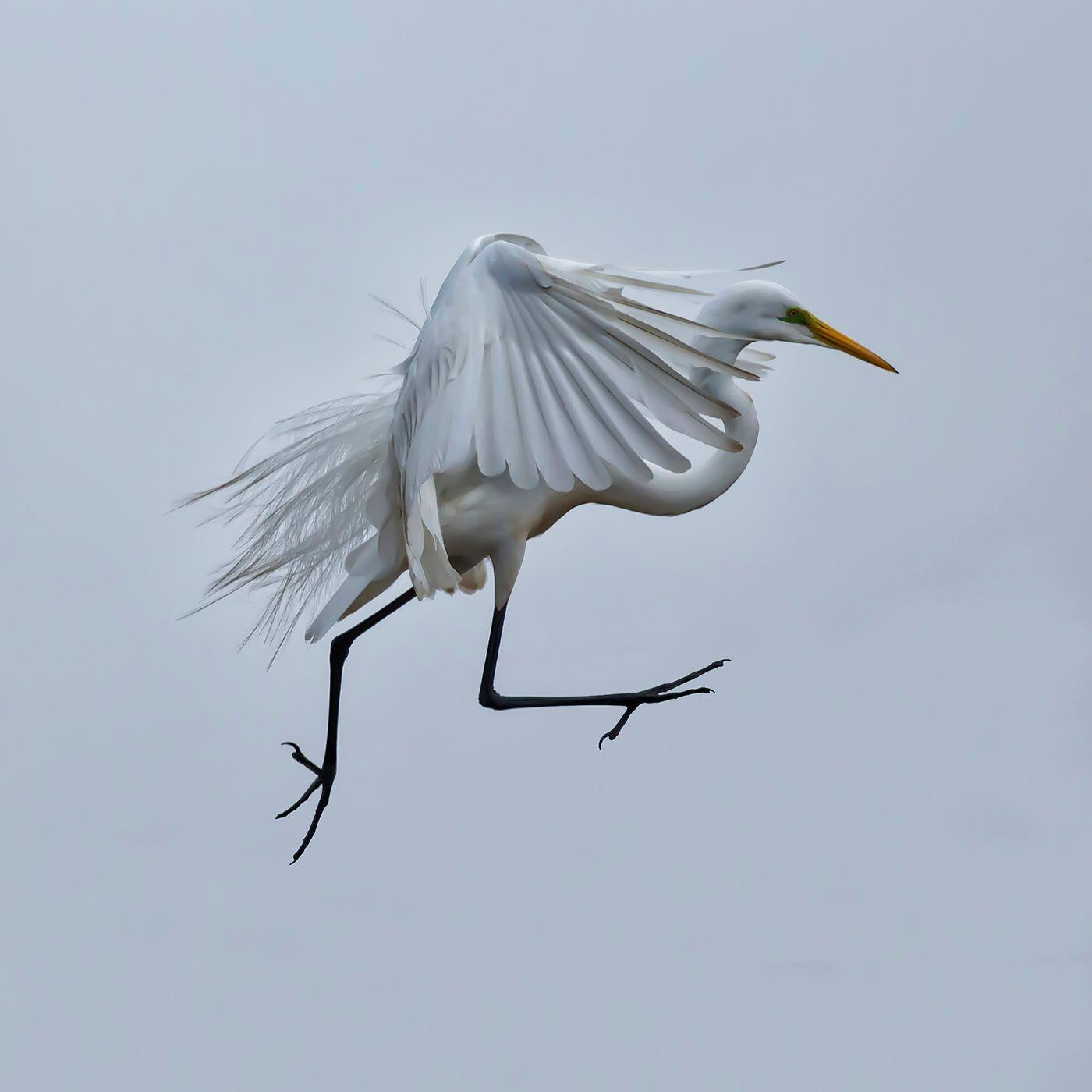 Walking On Air - Flying white crane bird suspended in air, feather details
