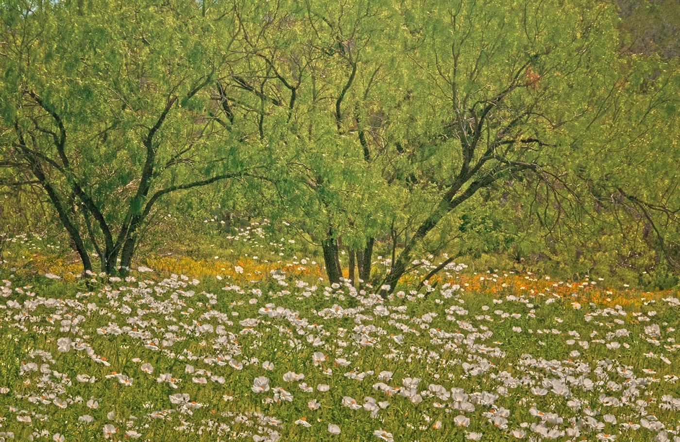 Willow - West Texas Hill Country landscape, lush trees, white & yellow flowers