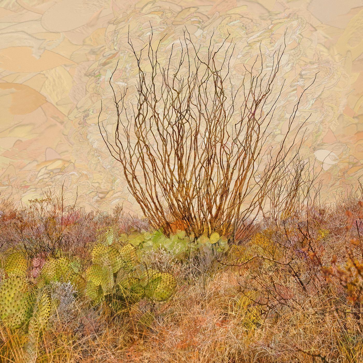 Ocotillo - Desert plant, cacti & dry brush, tan Southwestern American landscape