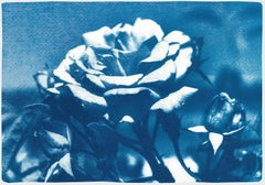 Blue and White Rose, Botanical Cyanotype of a Single Flower on Watercolor Paper