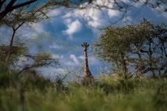 Giraffe Peekaboo (Limited Edition of 25) - Animal Wall Art