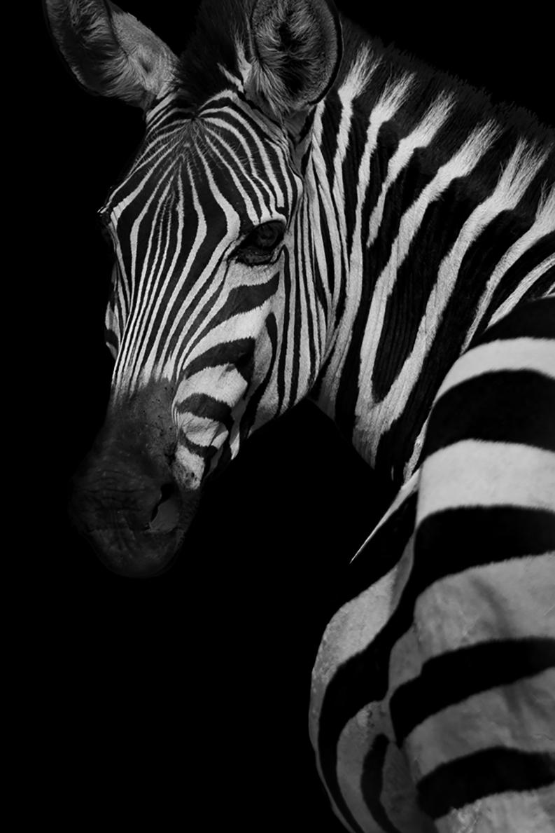 Profile of a Zebra (Limited Edition of 25) - Animal Wall Art