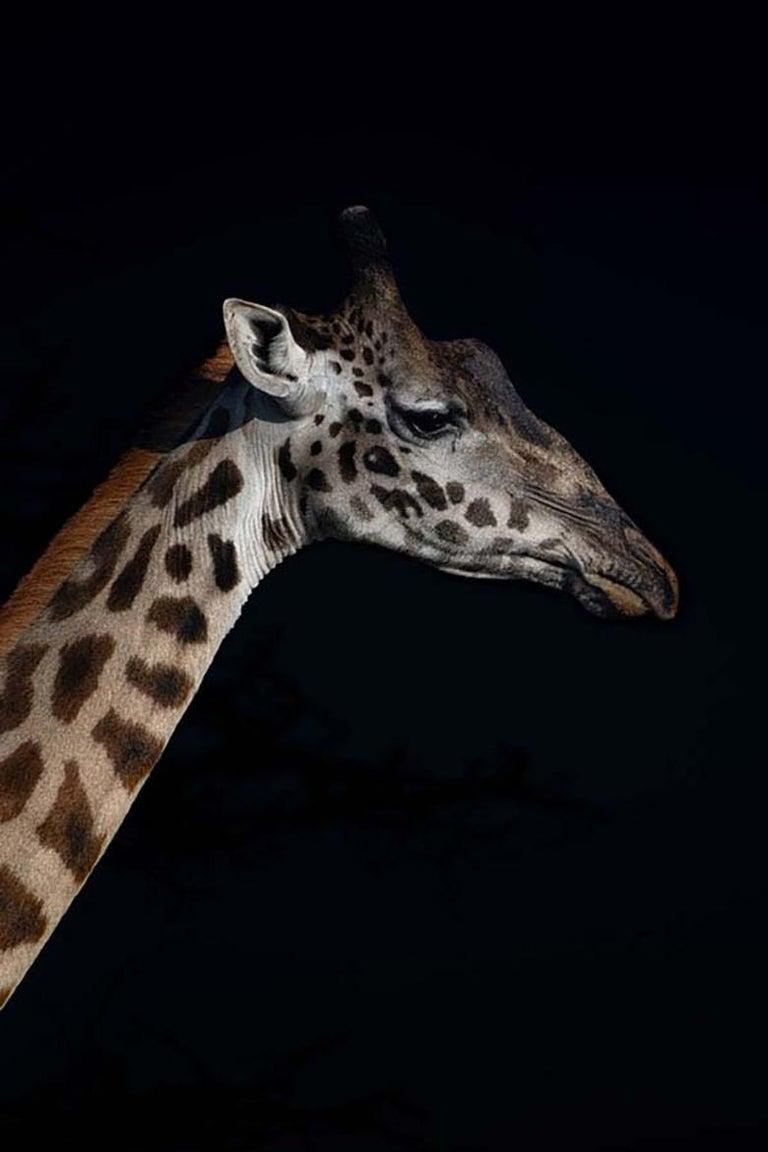 Viet Chu Portrait Photograph - Profile of a Giraffe (Limited Edition of 25) - Animal Photography