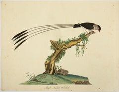 """Shaft-Tailed Widah,"" Antique Bird Print"