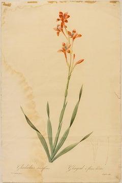 Gladiolus strictifloras. Glayeul a fleurs droites
