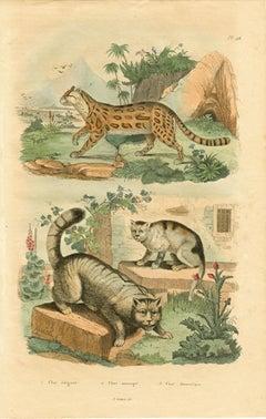 Chat elegant / Chat sauvage / Chat domestique; Pl. 96