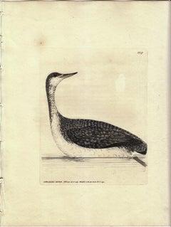 Speckled-Diver, Pl. 229